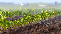 Irrigation of paprika field in spring. - stock footage