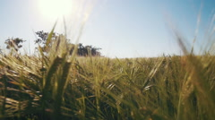 Camera movment through the field with spikelets of wheat Stock Footage