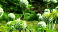 Motley butterfly on a flower bow Stock Footage