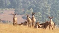 Curious roan antelopes Stock Footage