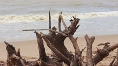 Tree roots on the beach, deforestation Stock Footage