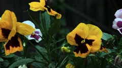 Colourful pansies Stock Footage
