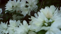 Blooming jasmine Stock Footage