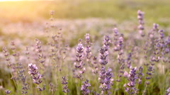 Lavender Field in the summer - stock footage