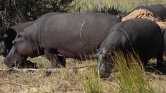 Younger hippos. Stock Footage