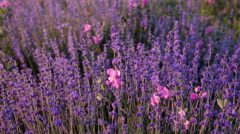 Branches of flowering lavender Stock Footage