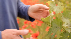 Bright red poppies in a vineyard - stock footage