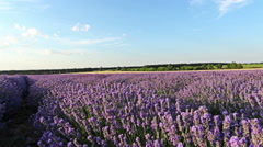 POV, walking on a field with lavender plants at sunset. Stock Footage