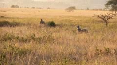 Swazi zebra distance. Stock Footage