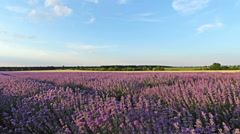 Slider shot on a field with lavender plants at sunset, HDR Stock Footage