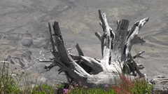 From Dead Wood To Mt St Helens Stock Footage