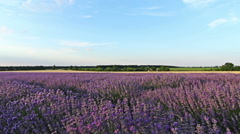 Slider shot on a field with lavender plants at sunset, HDR - stock footage