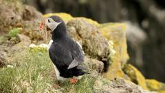 Little Atlantic puffin on edge of Látrabjarg in Iceland Stock Footage