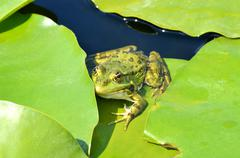 Green frog on the lake - stock photo