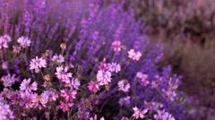 Bushes of flowering lavender Stock Footage