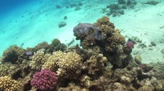 Starry Puffer on Coral Reef Stock Footage