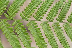 Macro photo of a bracken fern leaf (Pteridium aquilinum) - stock photo