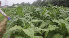 Stock Video Footage of tobacco field