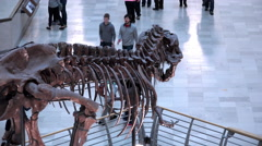 Tyrannosaurus Rex skeleton in the Field Museum Chicago 4k Stock Footage