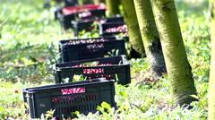 Cherries picking on plantation. Stock Footage
