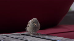 Sparrow sitting on table eating crumbs 4k Stock Footage