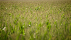 Shot with racking focus of a corn field with plants blowing in the wind - stock footage