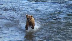 Brown Bear Charges After Salmon & Dives - Real Time Cropped Stock Footage