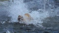 Brown Bear Charges After Salmon & Dives in 50% Slow Motion Stock Footage