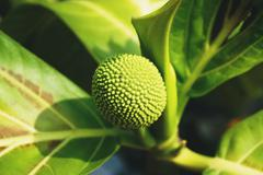 Close up young breadfruit species name is Artocarpus communis Stock Photos