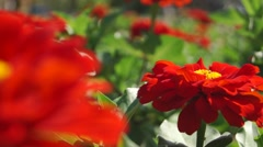 Red flower on a flowerbed close up slider shot Stock Footage
