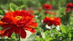 Red flower close up slider shot Stock Footage