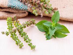 Lemon basil flower and seed with leafs prepair to planting next season. - stock photo
