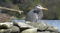 Great Heron on Park Lake - 02 - Close Up Stock Footage