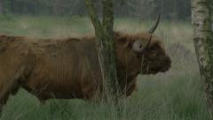 Wild Bull rubbing horns against tree brange willife Beautiful 4k ULTRA HD Stock Footage