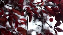 Single cherry fruit on a tree. Stock Footage