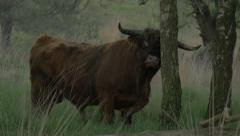 Bull rubbing its horns against tree in the early morning real wild nature Bul Stock Footage