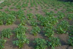 Potatoes on area - stock photo