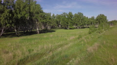 Summer green birch forest Stock Footage
