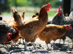 Chickens on traditional free range poultry farm. Stock Photos