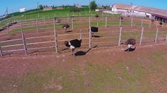 Ostrich's farm Stock Footage