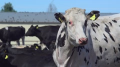 Cows on the farm - stock footage