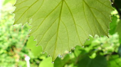 Morning dew on a wine leaf Stock Footage