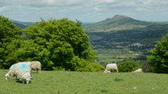 Sheep Grazing in a Welsh Field  Stock Footage