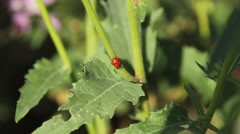 Ladybug on a plant Stock Footage