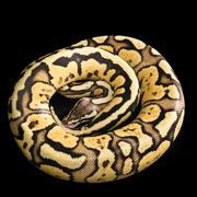 Ball Python -Python regius snake - stock photo