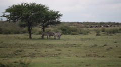 Zebras walking across green savannah, Samburu, Kenya, Africa, long shot Stock Footage