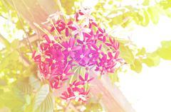 Quisqualis indica or Combretum indicum soft style Stock Photos