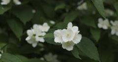 Jasmine flowers in bloom 4k prores footage Stock Footage