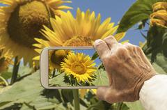 Stock Photo of Old hand taking photography of sunflowers field.