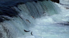Dozens of Spawning Salmon Trying to Jump the Falls Stock Footage